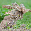 Florida Burrowing Owls : 4 galleries with 567 photos