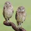 Florida Burrowing Owls : 7 galleries with 932 photos