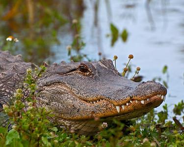 FL Alligators