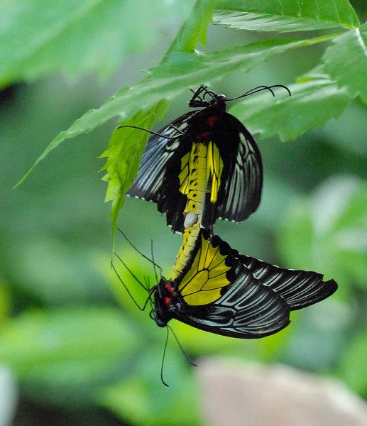 Mating butterflies.