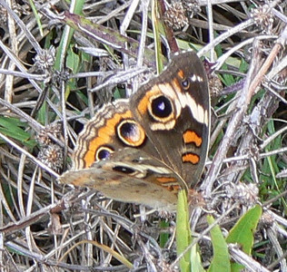 DotMComBuckeye587 May 24, 2007  11:41 a.m.  P1010587 Common Buckeye