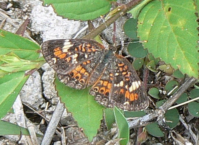 DotMPhaon416 May 20, 2007   11:45 a.m.  P1010416 Phaon Crescent butterfly