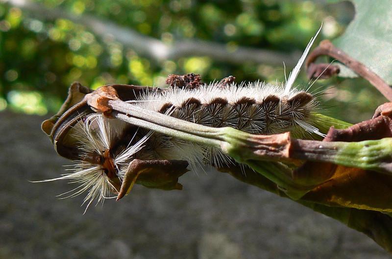 DotMTussockMCAT328 May 19, 2007   P1010327 Tussock Moth caterpillar