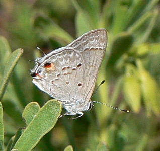 DotMMallowScrub482 May 21, 2007  3:48 p.m.  P1010482 Mallow Scrub Hairstreak
