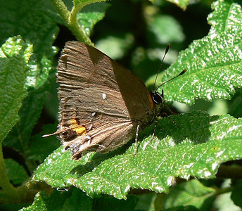 DotMFulvousHS672 May 25, 12:57 p.m.  P1010672 Fulvous Hairstreak - Castellow Hammock County Park