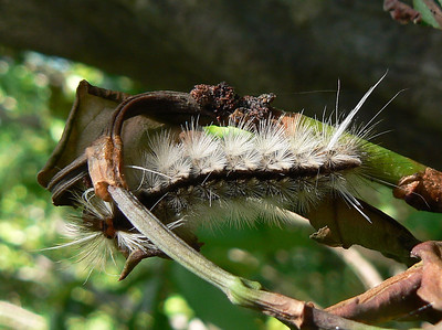 DotMTussockMCAT327D May 19, 2007  P1010328 Tussock Moth caterpillar