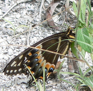DotMPalamedes604 May 24, 2007 2:07 p.m.  P1010604 Palamedes Swallowtail