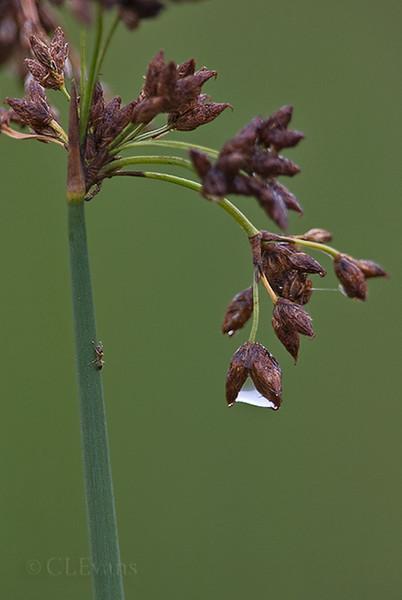 Bulrush after the rain (Scirpus spp.) (Roosevelt Wetlands, St. Petersburg)