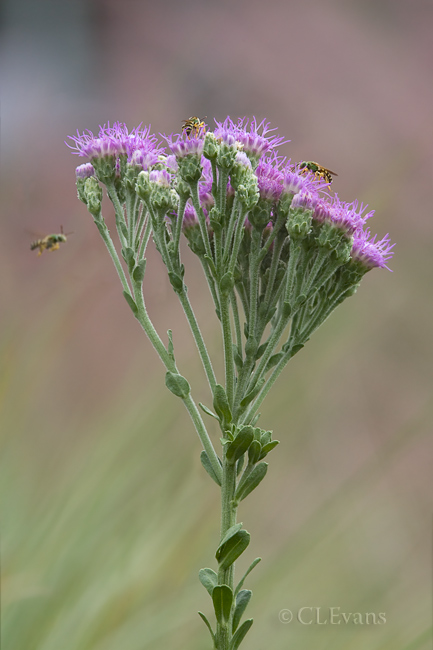 Florida Paintbrush Flower with Halictid Bees