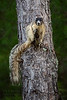 Sherman's Fox Squirrel (Hernando County)