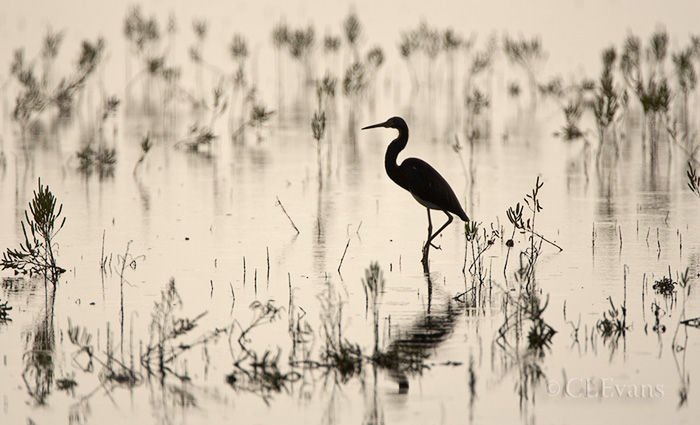 Silhouette of a Tri-Colored Heron and marsh plants (Merritt Island NWR)