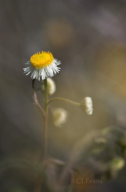 Daisy Fleabane (Erigeron spp.) (Largo)