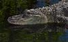 American Alligator (St. Augustine)