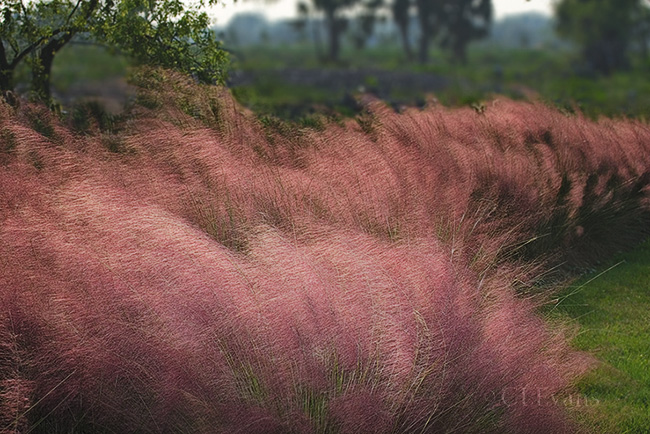 Muhly Grass in the fall, (Largo Nature Preserve))