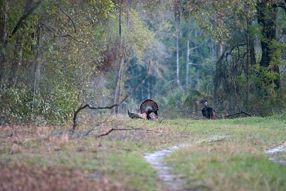 Paynes Prairie, Turkeys