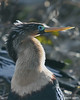 Anhinga.   Shark Valley Loop, Everglades. Get notifications via: