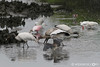 "Variety Pack... 4 Wood Storks, 2 Tricolor Herons, 2 Snowy Egrets, 1 Ibis, 1 Roseate Spoonbill... all fishing in the rain.  (No, this is not a zoo) <br/>Get notifications via:  <a href=""https://www.facebook.com/pages/Photos-by-WLPearce/190382457674025""target=""_blank""><img src=""http://cdn.smugmug.com/img/aboutus/social_icon_facebook.png"" alt="""" style=""border:0;width:16px;height:16px;""/></a>     <a href=""http://www.twitter.com/WLPearce""target=""_blank""><img src=""http://cdn.smugmug.com/img/aboutus/social_icon_twitter.png"" alt="""" style=""border:0;width:16px;height:16px;""/></a>     <a href=""https://plus.google.com/114964286145596812846""target=""_blank""><img src=""https://ssl.gstatic.com/images/icons/gplus-16.png"" alt="""" style=""border:0;width:16px;height:16px;""/></a>"