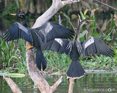 What's better than one bird in a pic?  Two!  Anhingas drying in the sun.  Wakodahatchee Wetlands Get notifications via: