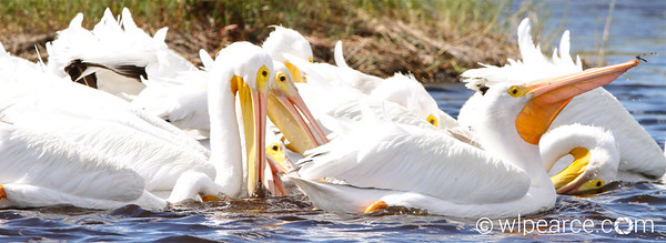White Pelicans feeding.  Check out the fly on the lead one's nose.  Merritt Island NWR. Get notifications via: