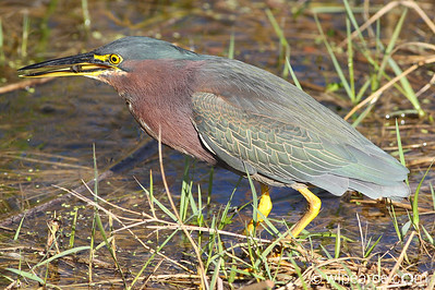 Green Heron, Viera Wetlands