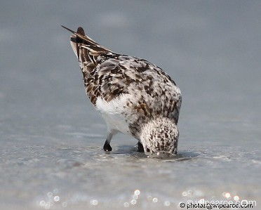 Isn't the whole point (if you're a sandpiper) to keep your head out of the water? Sanderling