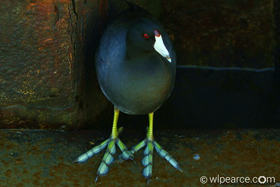 Dude!  Funky Feet!   (American Coot)... not photoshopped.