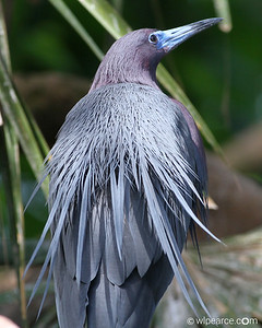 Little Blue Heron showing off his breeding shawl.