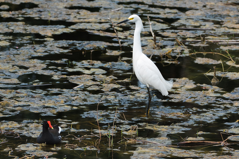 Snowy Egret with Common Moorhen in Green Cay