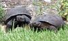 Two gopher tortoises.