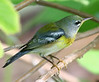 Northern Parula hanging out in the Salmon Porterweed