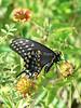 Eastern black swallowtail butterly