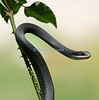 Black snake doesn't seem to mind the thorns of this rose bush.