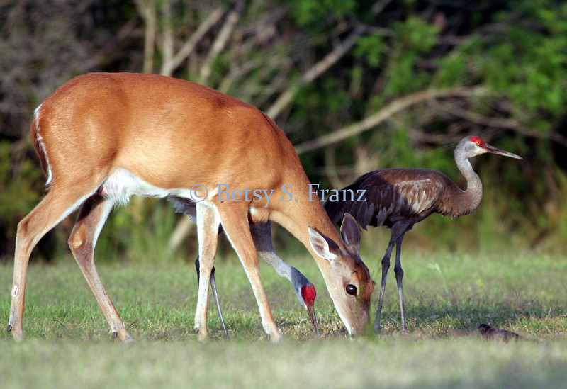 White-tailed deer and sandhill cranes, Titusville, Florida