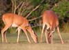 White-tailed deer, Titusville, Florida