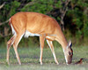 White-tailed deer, Titusville, Florida