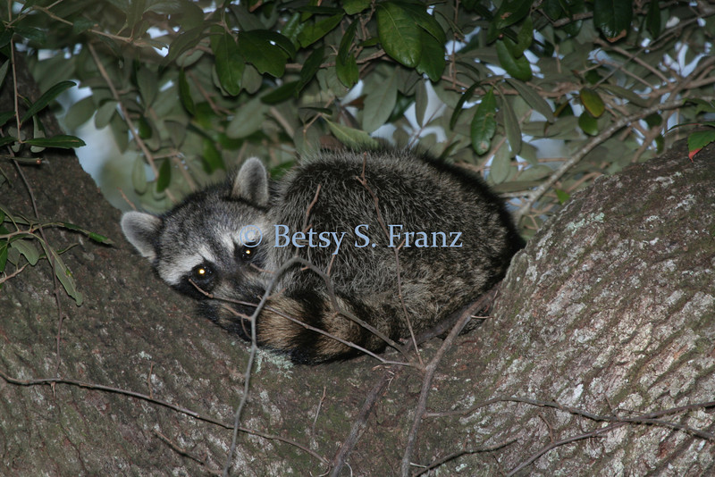 Raccoon in oak tree