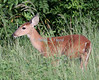 Fawn, Viera Wetlands. White-tailed deer.
