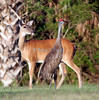 White-tailed deer and sandhill crane, Titusville, Florida