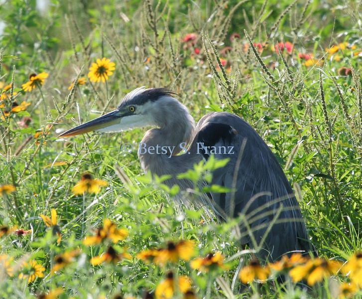 Heron in the wildflowers.