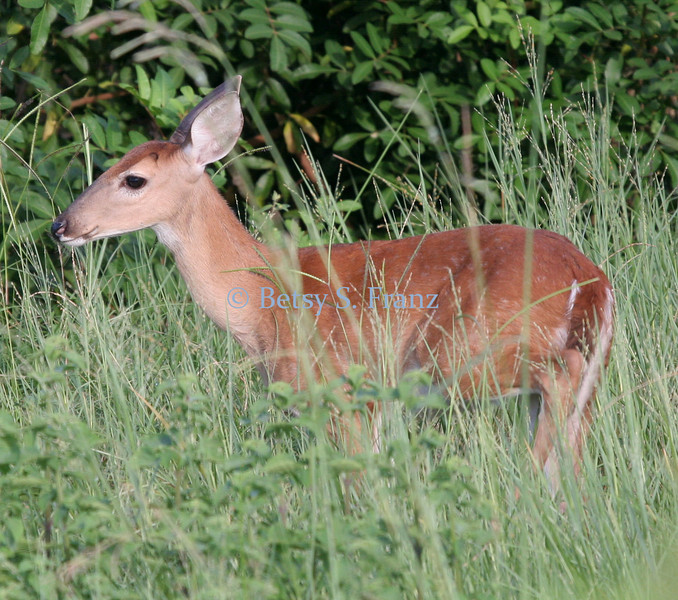 Fawn, Viera wetlands. If you look close, you can still see his spots.