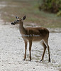 Key Deer,  No Name Key, Florida