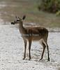 Key Deer,  No Name Key, Florida