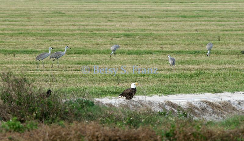 bad eagle and  sandhill cranes