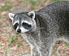 Raccoon, Brevard County backyard