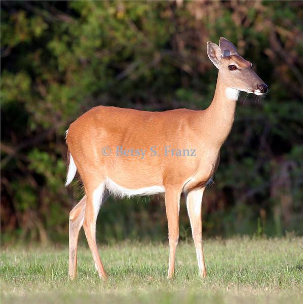 White-tailed deer - Titusville, Florida
