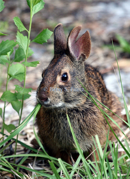 Marsh Rabbit, taken in our yard.