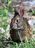 Marsh Rabbit, taken in our yard.