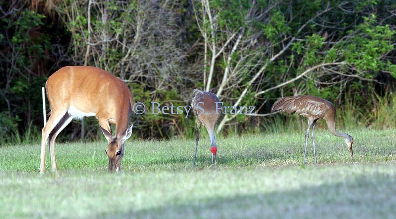 White-tailed deer and sandhill crane, Titusville, Florida.