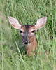 Doe, Viera Wetlands. White-tailed deer