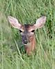 Doe, Viera Wetlands. White-tailed deer